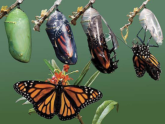 metamorphosis-of-butterflies7
